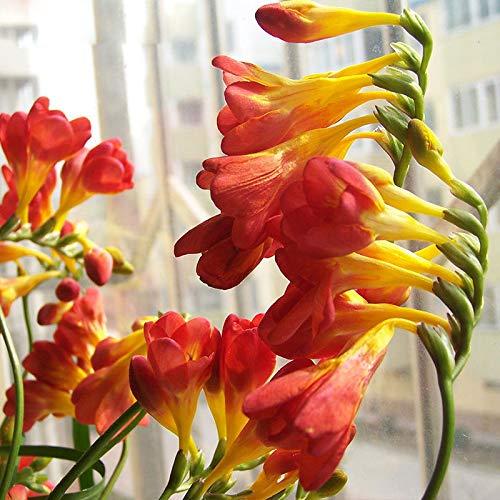 Portal Cool Kaufen, 3 2 Free Japanische Rote Farbe Freesie Orchideen-Blumen-Samen 200Pcs
