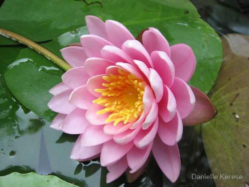 10 LIGHT PINK LOTUS Water Lily Pad Nymphaea Sp Pond Flower SeedsComb S/H