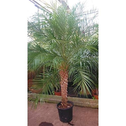 XXL Stamm 60-80 cm Zwerg-Dattelpalme Phoenix Roebelenii 180-190 cm Dattelpalme