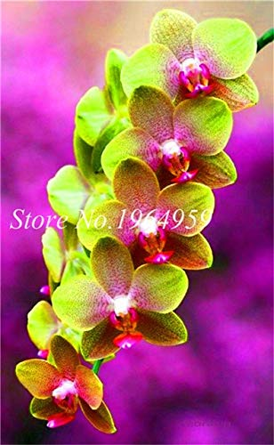 Shopmeeko Graines: Bonsai Multi-couleur de la fleur d'orchidée Fleurs 100 Pcs Potted/Mixed Bag Cymbidium Faberi Balcon Plante en pot pour jardin: 9