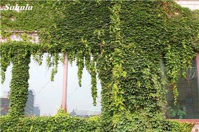 Mélanger Boston Seeds 100% vrai Parthenocissus tricuspidata semences Plantes d'extérieur QUASIMENT soins décoratifs Escalade usine 100 Pcs 1