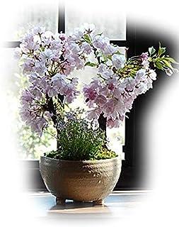 盆栽 桜盆栽 八重桜