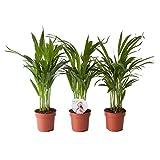 Piante da interno da Botanicly – 3 × Palma Areca – Altezza: 45 cm – Areca dypsis lutescens
