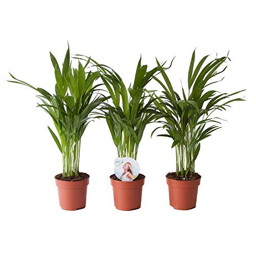 BOTANICLY | 3 × Plantas naturales - palma de oro | Altura: 35 cm | Areca/Dypsis Palm