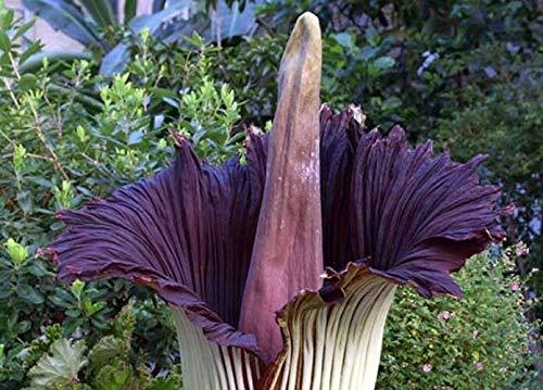 SANHOC 10 Rare Lila Corpse Blumensamen Titan Arum Größte Blumen-Garten-Pflanze Exotische