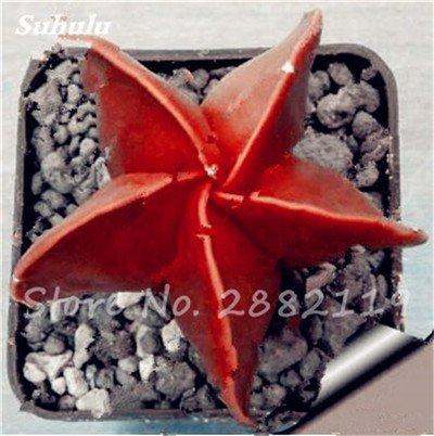 Succulentes graines fraîches 200 Pcs étoile à cinq branches charnus Graines rares Sempervivum Mix-kinds Fleurs Succulent Bonsai Plantes en pot 2