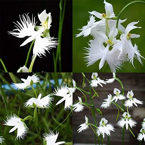 100pcs Habenaria Radiata Semillas Plantas de flores blancas Jardín de bricolaje Hogar como verde