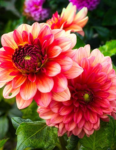 """Dahlia Gardening Journal: Journal measurements 8.5"""" x 11"""" (21.59cm x 27.94cm) 150 Ruled Pages"""