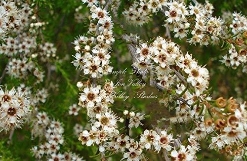 PLAT FIRM GRAINES DE GERMINATION: Manuka thé Südseemyrte 20 Samen Evergreen Weiße Blumen