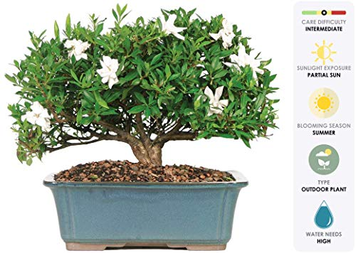 Brussel's Live Gardenia Outdoor Bonsai Tree - 6 Years Old; 10' to 14' Tall with Decorative Container