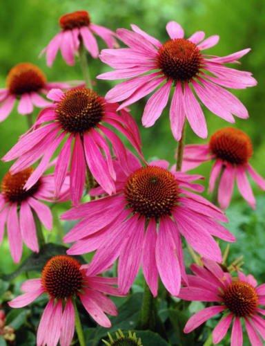 12 graines d'échinacée MAGNUS FLOWER (fleur de cône)