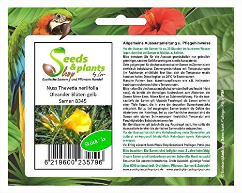 Stk - 1x Thevetia neriifolia Oleander gelb Schellenbaum Nuss Samen B345 - Seeds Plants Shop Samenbank Pfullingen Patrik Ipsa