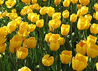 Yellow Tulip Bulbs(8 Bulbs) Hot Sale Perennials Cute Bright Flowers Very Cold Resistant