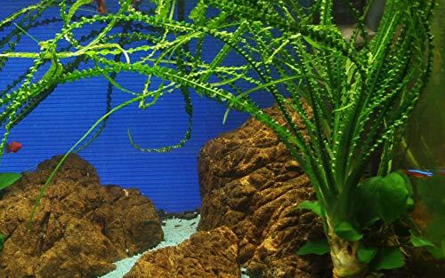Tropica Aquarium Pflanze Crinum calamistratum Nr.094A Wasserpflanzen Aquarium Aquariumpflanzen
