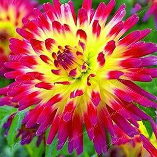 Grass Weed - 1 Bulbs Multi-Colored Dahlia Beautiful Perennial Flower Bonsai Plant DIY Home