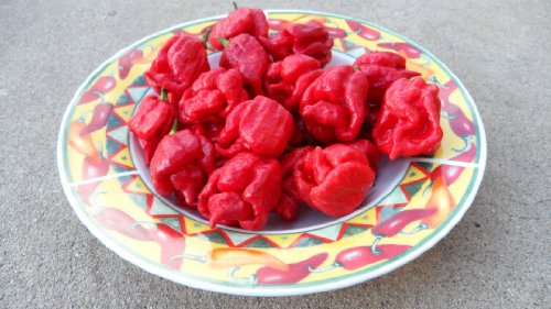 Trinidad Scorpion (Butch T Strain) Hot Pepper 10+ seeds by Refining Fire Chiles