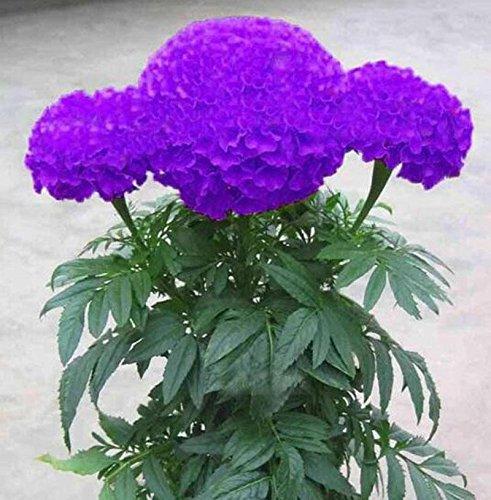 100pcs arc en ciel graines de fleurs de bonsaïs graines de plantes en pot de chrysanthèmes fleurs vivaces pour le jardin de la maison blanche
