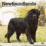 Newfoundlands - Neufundländer 2020 - 16-Monatskalender mit freier DogDays-App: Original BrownTrout-Kalender [Mehrsprachig] [Kalender] (Wall-Kalender) - BrownTrout Publisher
