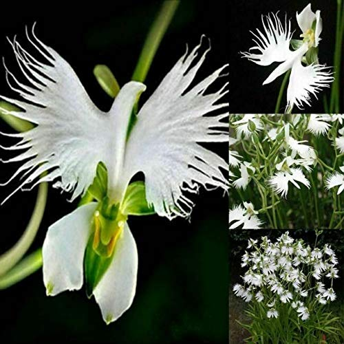 100 Japanese Radiata White Egret Orchid Flower Seed Beautiful Viable Bonsai Seed - Ship from US by US Seller.