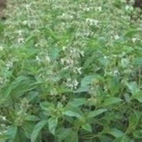 Basilic Citron - Ocimum basilicum - 1000 Graines