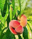 Prunus persica DONUT | Pesco | Albero da frutta | Piante a radici nude