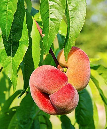 Prunus persica'Donut' | Pfirsich Baum |...