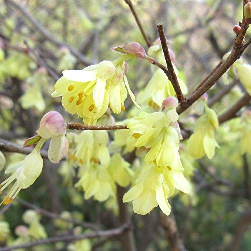 ヒュウガミズキ(日向みずき)5号ポット[早春に黄色の花を咲かせる花木]