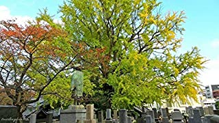 2 Live Ginkgo Trees Beautiful and Ancient Species Dinosaur Tree Sale Ald002