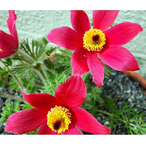 Leaftree Semi di Pulsatilla, 70Pcs Semi di fiori di Pasque Anemone Giardino Rosso Semi di fiori perenni Piante di petali per il giardino
