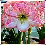 Bulbos amarilis,Adecuado Para Plantar Al Aire Libre,Planta En Maceta Muy Popular,Misterioso Y Encantador,Como El Jade Y Las Flores.-1 Bulbo,1