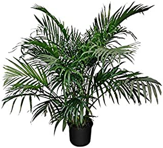 PlantVine Chamaedorea cataractarum, Cat Palm - Large - 8-10 Inch Pot (3 Gallon), Live Indoor Plant