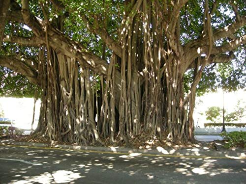 Ficus Benghalensis Banyan Trẹẹ Exotic 5 SẸẸDS