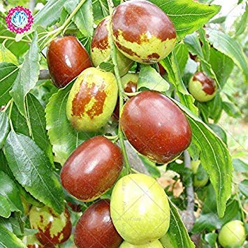 VISTARIC 8: Bonsai Lemon Tree Seed 50 Pcs/paquet Citrus limon Graines Fruit Jardin Terrasse verger à graines Ferme Citron Potted semences pour jardin 8