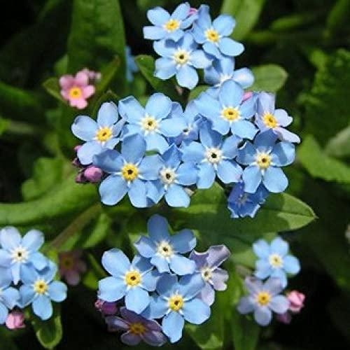 Fuduoduo Semillas De Hortalizas para Interiores,Planta fácil de Vivir, no Olvides Las Semillas-0.5kg_Seed,Flores Paisaje para Cercas