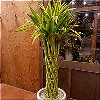 ミリオンバンブー 観葉植物 ホワイトインテリア陶器鉢オフィスやリビングなどに ラッキーバンブー 幸運の竹 ドラセナ サンデリアーナ 新築祝い 開店祝い プレゼントなどに