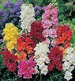 bocca di leone antirrhinum majus miscela semi di colore 40+ pesce rosso erba biologica facile da coltivare bella pianta fiore premium semi di cimelio per giardino domestico piantare