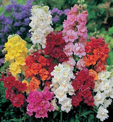 Löwenmaul Antirrhinum majus Mischung Farbsamen 40+ Goldfischgras Bio Leicht zu züchten Schöne Pflanze Blume Premium Erbstück Samen für Hausgarten Yards Pflanzen