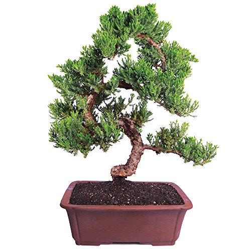 Brussel's Live Green Mound Juniper Outdoor Bonsai Tree - 6 Years Old; 14' to 18' Tall with Decorative Container - Not Sold in California