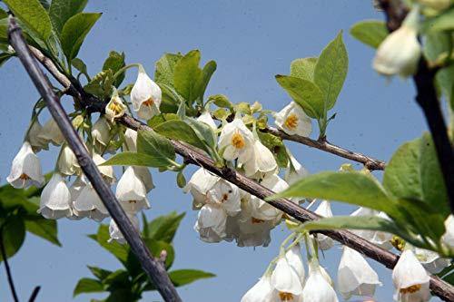 Schneeglöckchenbaum Halesia carolina Pflanze 35-40cm Maiglöckchenbaum Rarität