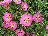 La quantità del pacchetto è 26493 Vendiamo solo semi Semi ad alto tasso di germinazione La restituzione della merce non è disponibile Viola Cistus Purpureus * * 9cm * Rock Rose