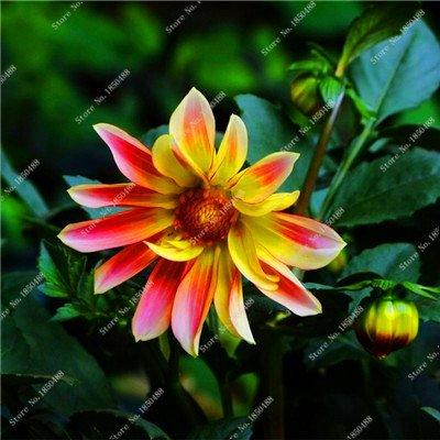 Double Dahlia Seed Mini Mary Fleurs Graines Bonsai Plante en pot bricolage jardin odorant fleur, croissance naturelle de haute qualité 50 Pcs 4