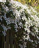 Aimado Seeds Garden-100 Pcs Clématite fleurs graines parfumée fleurs grimpantes vivaces floraison abondante plante grimpante exterieur pour Jardin
