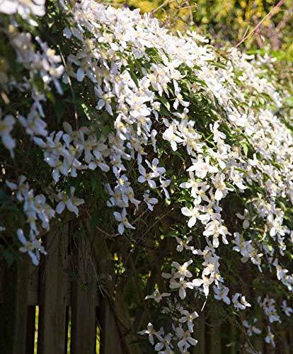 AIMADO Samen-50 Pcs Clematis montana var. grandiflora Blumensamen Kletterpflanze, rein weißen Blüten duftenden Blüten,Verschönt Mauern und Zäune