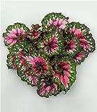 BALDUR-Garten Begonie Magic Colours'Macarena', 1 Pflanze Blattbegonie Blattschmuckpflanze, Zimmerpflanze