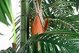 Cycuspalme 4 Stämme mit Topf 1,60 m Kunstpalme Kunstpflanze Kunstbaum - 2