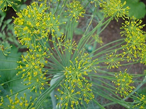 Long Island Mammoth Dill Seeds (20 Seed Pack)
