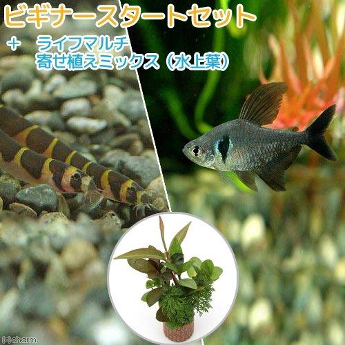 charm(チャーム) (熱帯魚 水草)ビギナースタートセット ブラックファントム・テトラ(6匹) +クーリーローチ(3匹) 【生体】