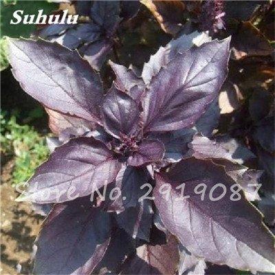 200 pièces rares Violet basilic Graines Bonsai Plante aromatique douce Ocimum basilicum Légumes Aromatique Graines Bonsai Pour la maison Cuisine 4
