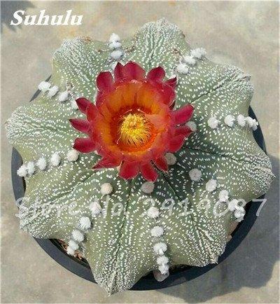 100 Pcs vrai Cactus Seeds, Mini Cactus, Figuier, japonais Succulentes Bonsai Graines de fleurs, Plante en pot pour jardin 9