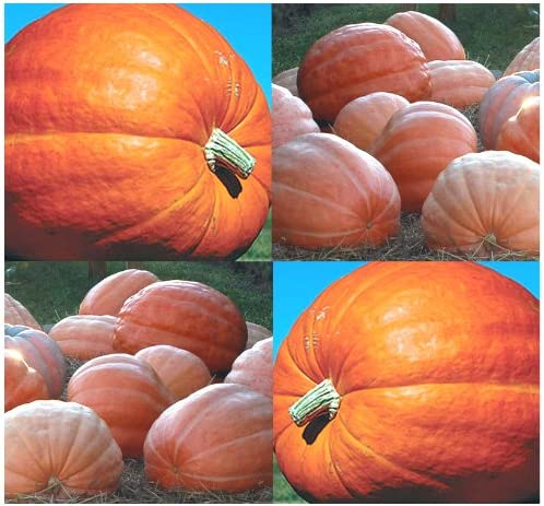 100 x Dill's High quality Atlantic Giant Pumpkin - Breaking Al sold out. at 1 Record Seeds